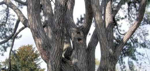 Tolkien's favourite tree, pinus nigra, Black Pine, Oxford Botanic Garden